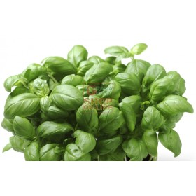 SEEDS OF GENOVESE LIGURIAN BASIL SAN REMO LISCIO FROM 10 GR