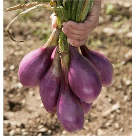 SEEDS OF ONION OF TROPEA LUNGA ROSSA ORIGINAL GR. 500