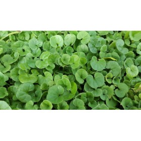 DICHONDRA REPENS SEEDS FOR LAWN Dwarf TURF WITHOUT CUT GR. 100