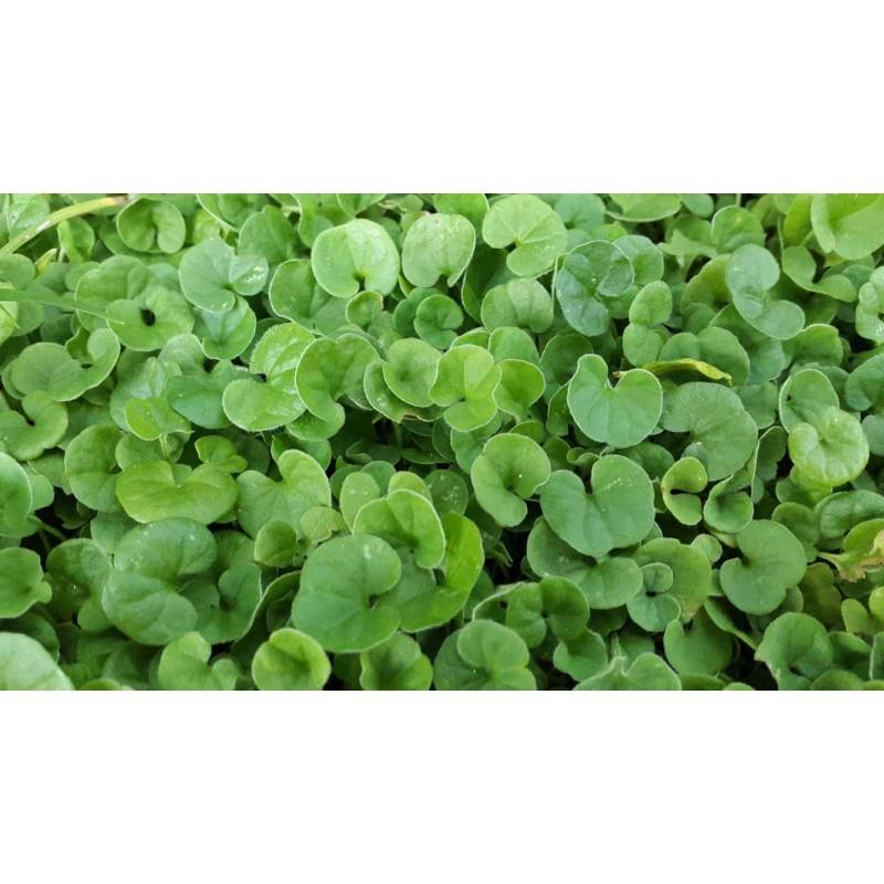 Manutenzione Prato Di Gramignone semi di dichondra repens per prato tappeto erboso nano senza taglio gr. 100