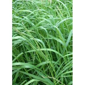 SEEDS OF LAWN PERENNIAL LOIETTO KG. 5