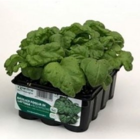 BASIL LETTUCE LEAF TRAY OF 12 SEEDS