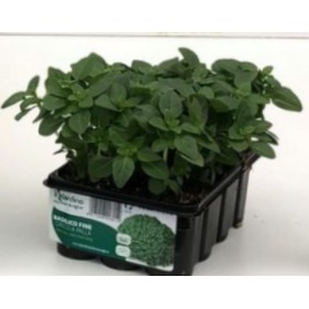 GREEK BASIL BALL 12 SEEDS