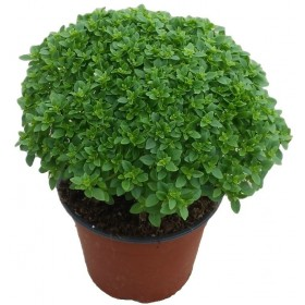 GREEK BASIL BALL IN A 16 CM VASE