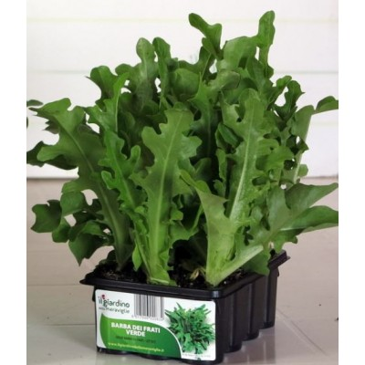 GREEN LETTUCE BEARD OF FRIARS, TRAY OF 12 SEEDS