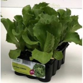 ICEBERG PATAGONIA LETTUCE WITH 12 SEEDS