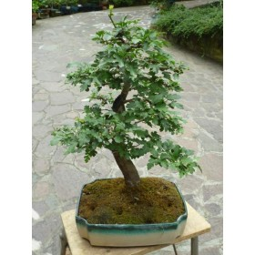 BONSAI OLIVO DECO