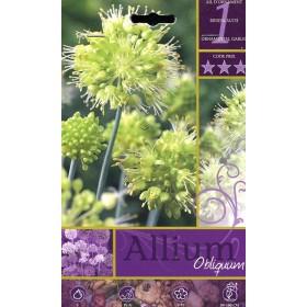 ALLIUM OBLIQUUM FLOWER BULBS N. 1