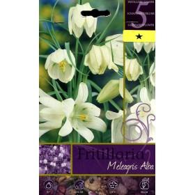FRITILLARIA MELEAGRIS ALBA FLOWER BULBS N. 5