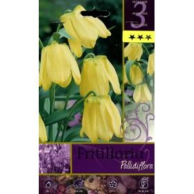 FRITILLARIA PALLIDIMORA FLOWER BULBS N. 3