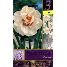 NARCISSUS ACROPOLIS FLOWER BULBS N. 3