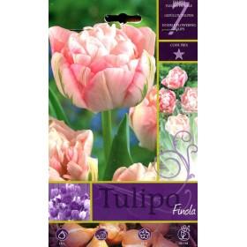 FINOLA TULIP FLOWER BULBS N. 7