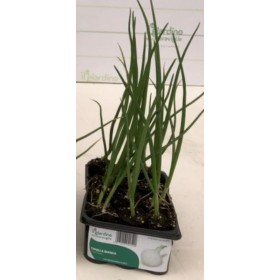 MINERVA WHITE ONION TRAY OF 12 SEEDS