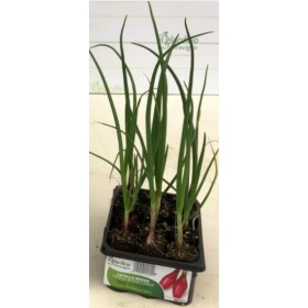 LONG RED ONION OF TROPEA TRAY OF 12 SEEDS
