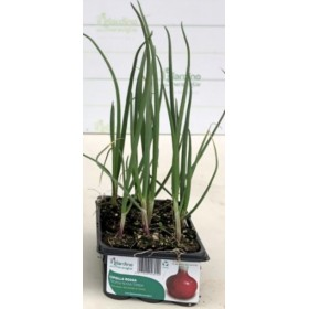 ROUND RED ONION OF TROPEA, CONTAINER OF 12 SEEDS