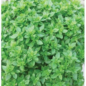 DOTTO BAGS OF BASIL SEEDS WITH FINE LEAF