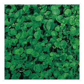 DUCT SEEDS LAWN DICHONDRA REPENS BAG GR. 200