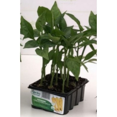 BULL HORN PEPPER YELLOW RINGO TRAY OF 12 SEEDS