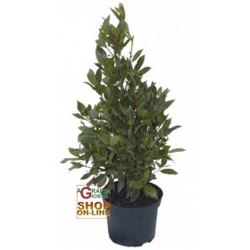 HIGH LAUREL PLANT CM. 120 WITH VASE DIAM. 20