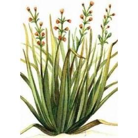CITRONELLA PLANT VASE CM. 19
