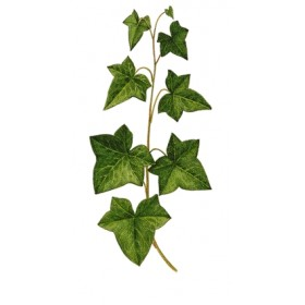 IVY PLANT IN POT DIAM. 10