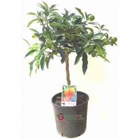 Chinese Kumquat mandarin plant in a cm. 20 height cm. 70