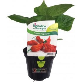 NAGA MORICH SPICY CHILI PLANT IN A JAR