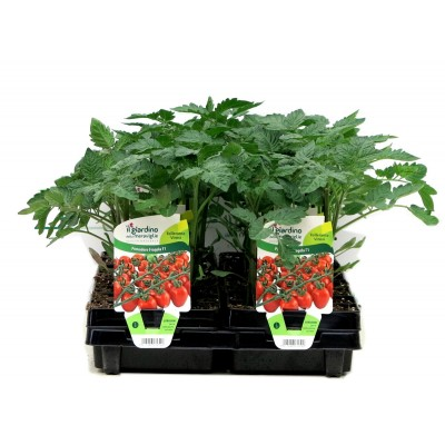 STRAWBERRY TOMATO PLANTS GRAFTED TRAY OF 4 PLANTS