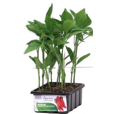SEEDLINGS OF PEPPER RED BULL'S HORN IN A BASKET OF 12 PLANTS