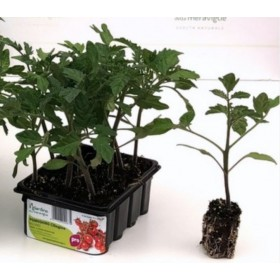 PACHINO TOMATO SEEDLINGS DETERMINED PLANT TRAY OF 12 SEEDS