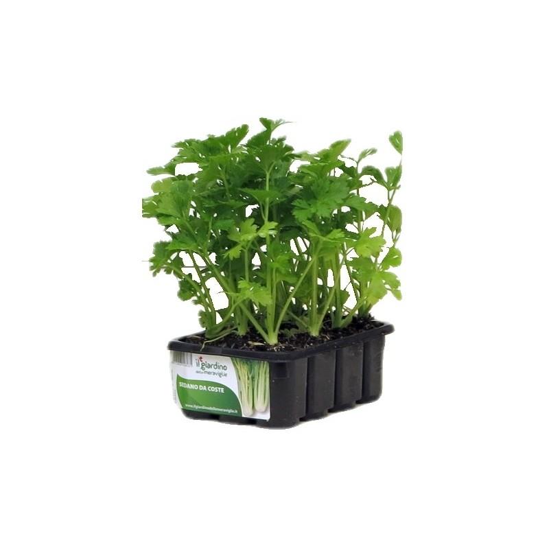 Piantine orticole piante da orto for Acquisto piante
