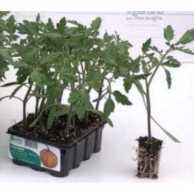 TOMATO CUOR DI BUE DI ALBENGA INDETERMINATE PLANT TRAY OF 12