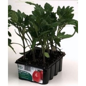 STEEL MISSOURI TOMATO DETERMINED PLANT, CONTAINER OF 12 PLANTS