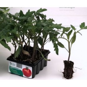 SMOOTH ROUND TOMATO EMPIRE DETERMINED PLANT TRAY OF 12 SEEDS